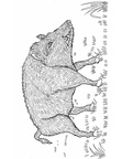 boar-coloring-pages-001