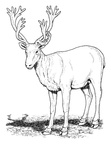 Deer Coloring Pages 019