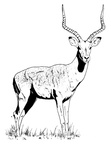 Gazelle Coloring Book Page